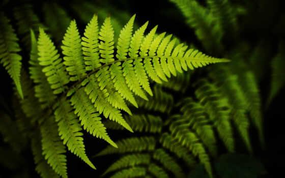 листья, папоротник, папоротника, зелёный, вайи, побегов, растущих, целая, system, свой, black,
