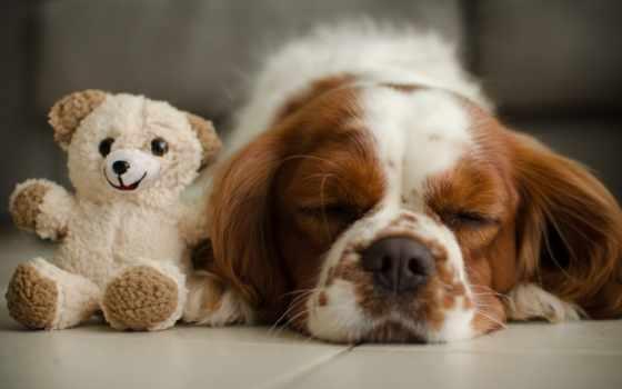 теме, мишка, плюшевый, медвежонок, toy, собака, кавалер, king, бесплатные, спящая,