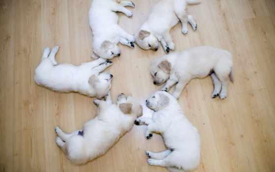 labrador, лабрадора, щенок