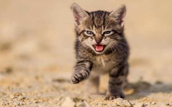 открытым, ртом, котенок