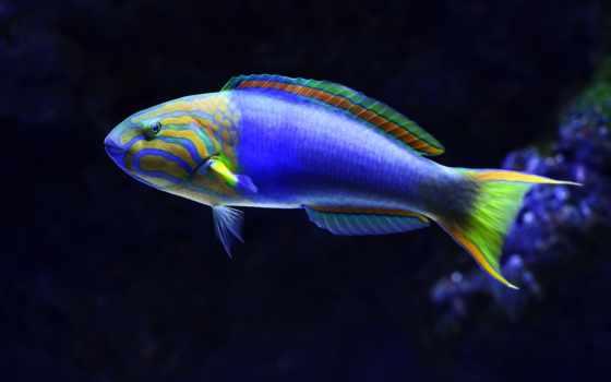 ,, рыба, coral reef fish, Помацентровые,, плавник, аквариум, морская рыба, цихлида, fishkeeping,