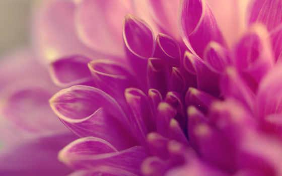 лепестки, сиреневый, цветы
