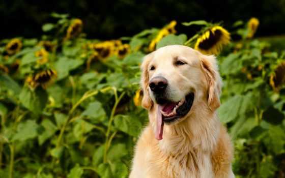собаки, ретривер, zhivotnye