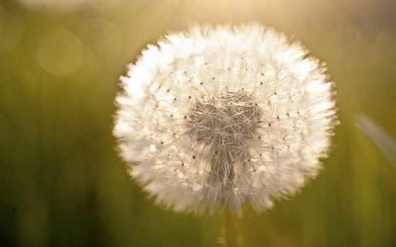 одуванчик, пушистик, свет, цветы,