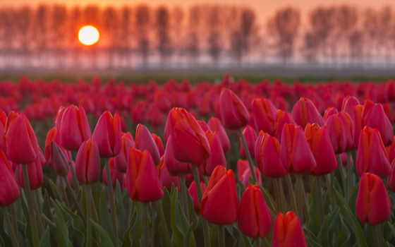 тюльпаны, cvety, sun, поле, закат, бутоны,