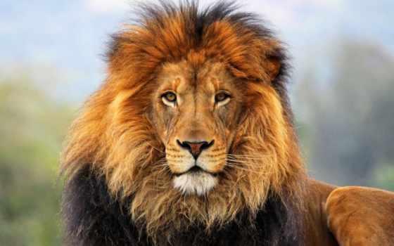 foundation, you, lion, самое, следы, интересные, биг, брызги, животные, наследие,