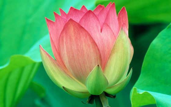 lotus, превью, цветущий