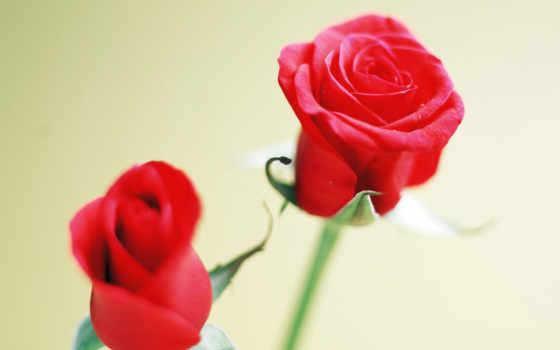 цветы, роза, posted