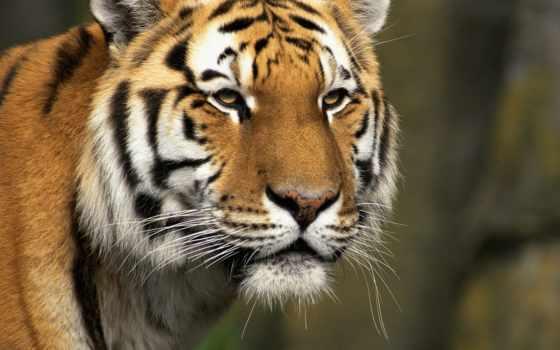zhivotnye, тигры, кошки, тигр, россии, морда, востока, дальнего, животных, коричневое,
