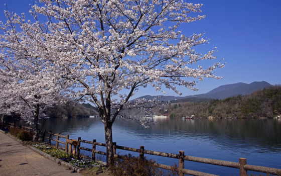 весна, Сакура, japanese, широкоформатные, весенние, канал, огни, цветение, ночь, цветы, пришла,