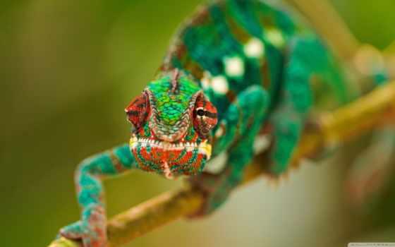 chameleon, ящер, зелёный, branch, широкоформатные, color,