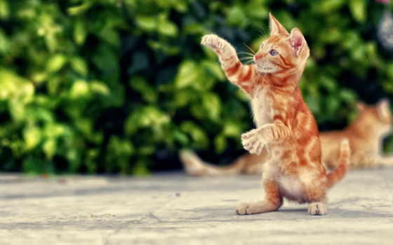 кот, red, коты, кошки, котенок, котэ, лапы, широкоформатные,