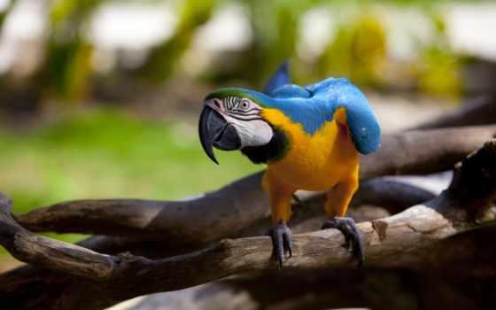 macaw, попугай, птица, клюв, blue, попугаи, птицы, природа, yellow, оптом,