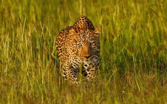 леопард, хищник, кот, wild, desktop, мар,