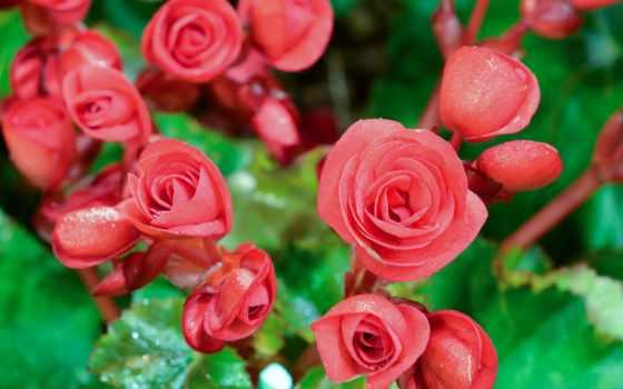 цветы, begonia, flowers, red, бутон, фото, closeup,