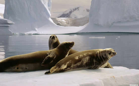 pole, антарктида, south, seals, animals, pinterest,