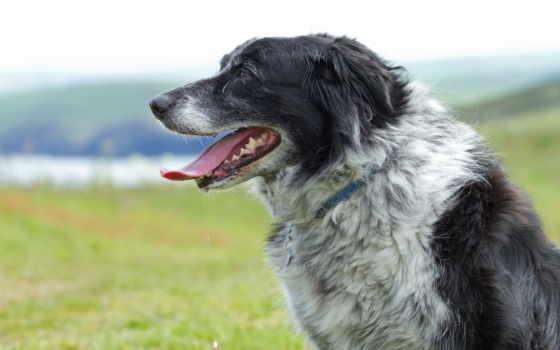 собака, морда, profile, трава, язык, spotted, мопс, млекопитающее, собаки,
