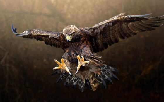 орлан, птица, fly, животные, качество, хищный, лысый, accipitridan, хищник, fantasy