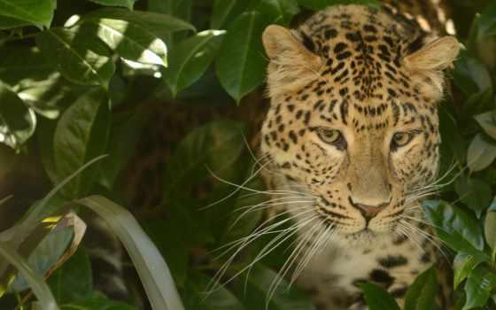 animals, desktop, обои, big, leopards, cats, леопа