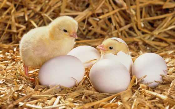 цыплята, появление, сено, вылупился,