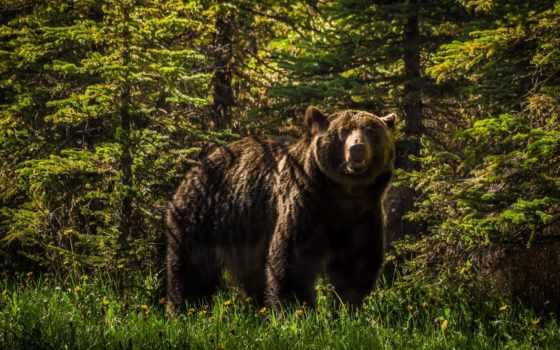 медведь, медведи, бурые, гризли, животные, браун,