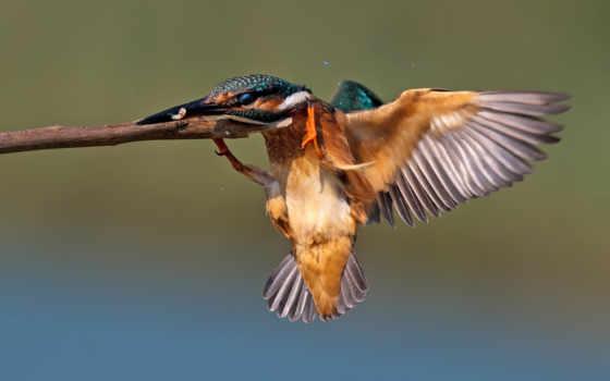 птица, зимородок, стоп-кадр