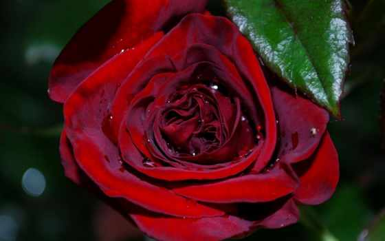 розы, анимация, роза, открытки, часть, роз, коды,
