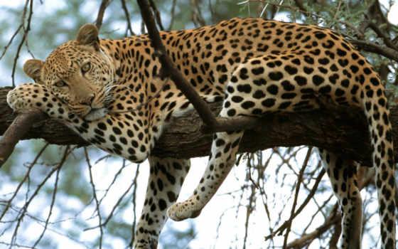 леопард, дереве