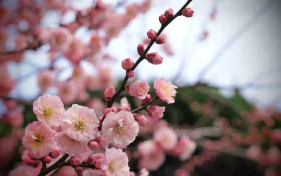 цветы, branch, розовые
