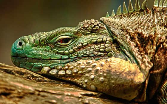 ящер, iguana, ящериц