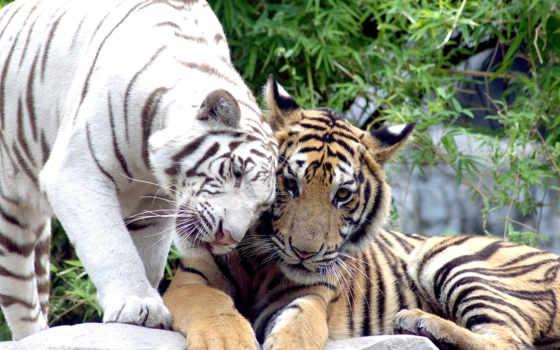 тигр, white, кошки