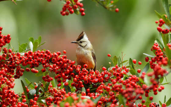 птица, ягоды, ветки