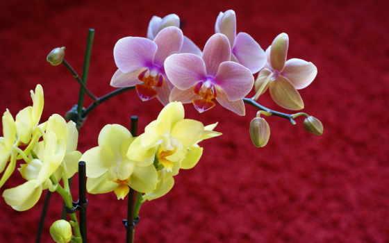 красивые, орхидеи, цветы