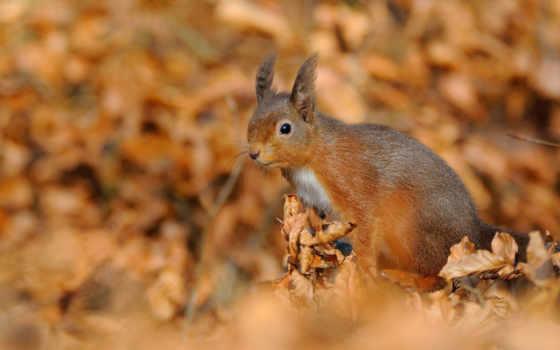 zhivotnye, осень, белки, белки, листва, картинка, рыжая, tail, природа,