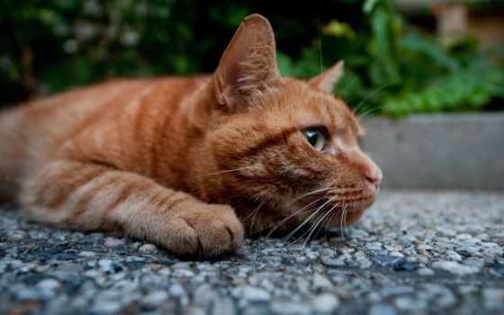 red, кот, котэ, лежит, широкоформатные,