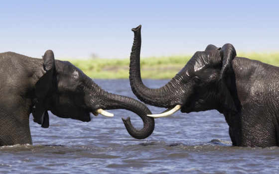 слон, хобот, нос, lip, тело, вода, купание