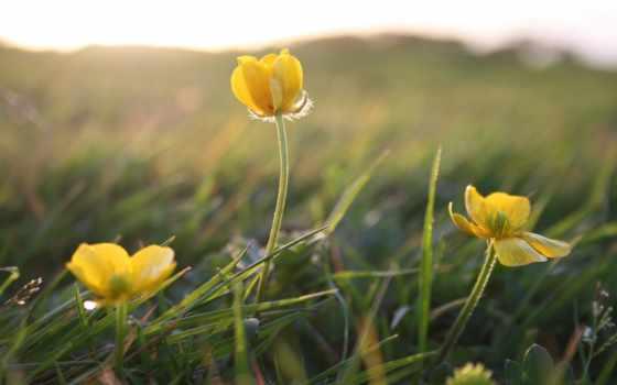 цветы, желтые, трава