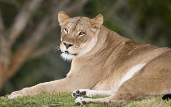 this, взгляд, rate, комментарий, отдых, lion, трава,
