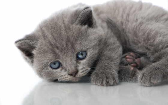 котенок, glaza, голубые