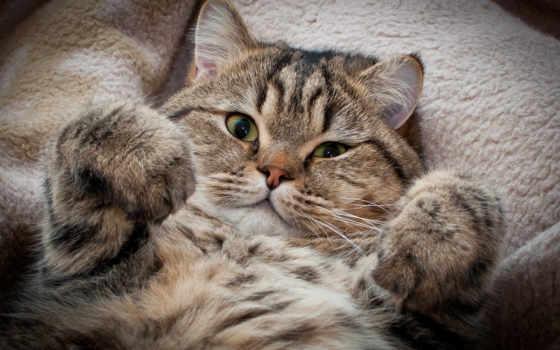 кот, коты, кота, кошки, котята, вислоухие, смешные, кошек, няшные, котят,