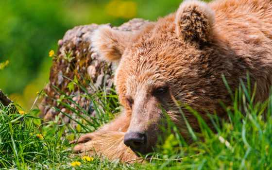 медведь, отдых, popular, морда, уставший, video, браун,