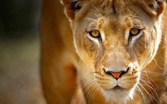 львица, львенок, lion Фон № 122505 разрешение 1920x1200