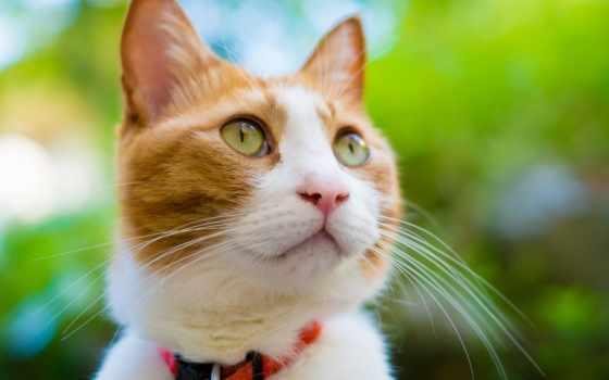 кошки, ошейник, кот, zhivotnye, кошек, красивые, заставки, морда, everything,