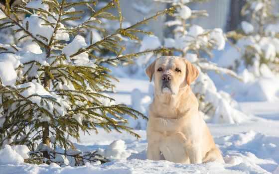 собака, снегу, labrador, android, собаки, снег,