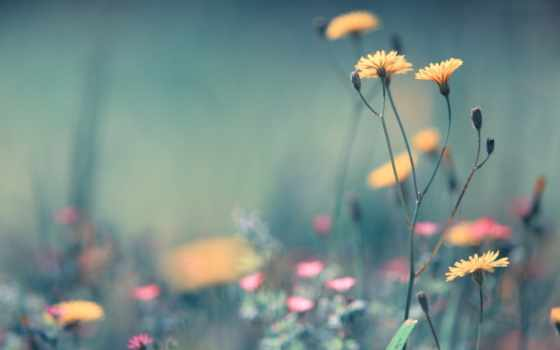 flowers, dandelion, free