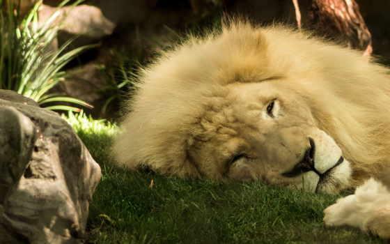 lion, животные, king