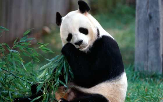 панда, медведь, панды