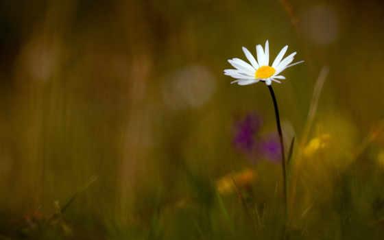 ромашка, цветок, спасовден