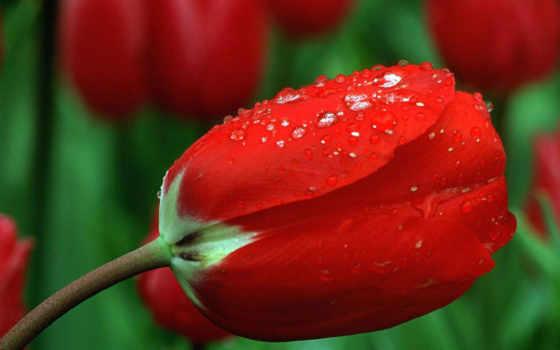цветы, possible, тюльпан