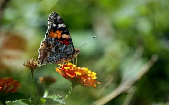 макро, бабочки, насекомые, квадро, код, undine, zdjęcie, tapety,